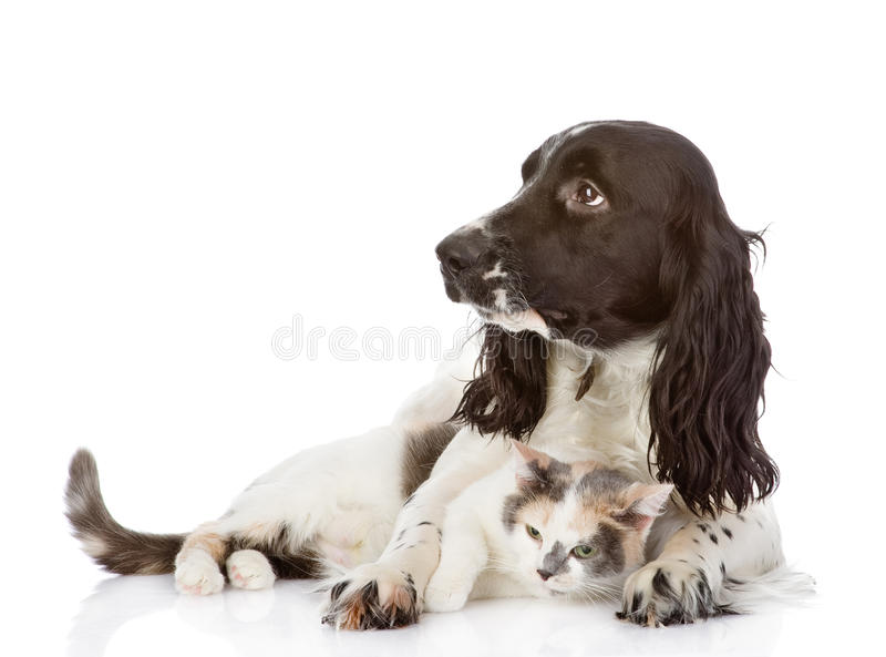 English Cocker Spaniel dog and cat lie together. royalty free stock photo