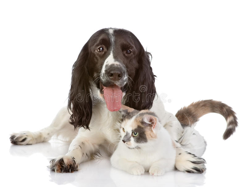 English Cocker Spaniel dog and cat lie together royalty free stock photo