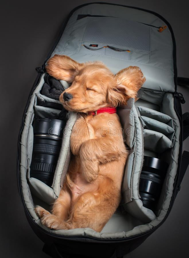 English cocker spaniel dog in photobackpack. English cocker spaniel dog sleeping in photographer backpack with lens royalty free stock images