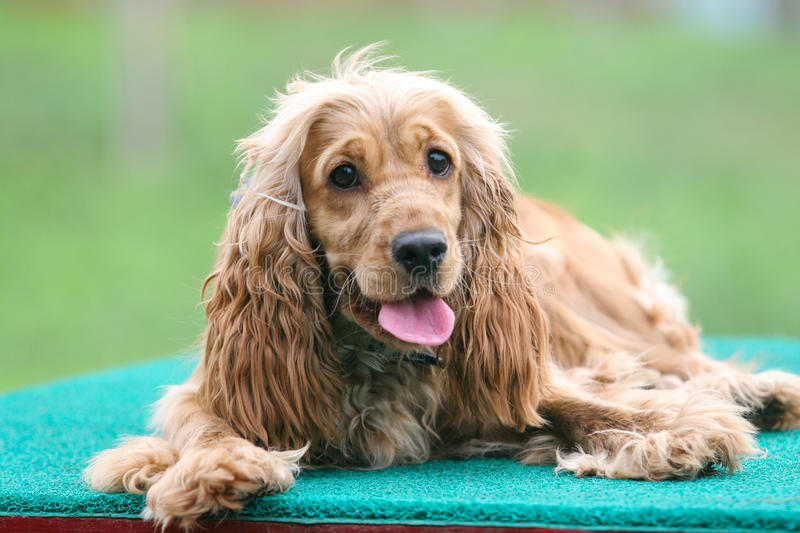 English Cocker Spaniel dog. Purebred English Cocker Spaniel dog portrait in outdoors stock photo