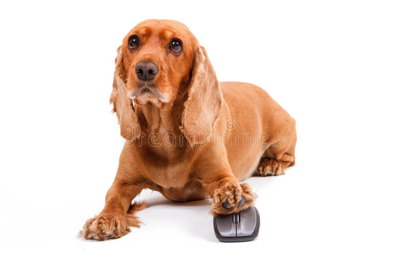 English Cocker Spaniel Dog Using Computer Mouse royalty free stock image