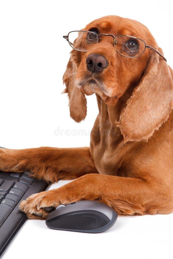 Free English Cocker Spaniel Dog Using Mouse And Keyboard Royalty Free Stock Photo - 32916305