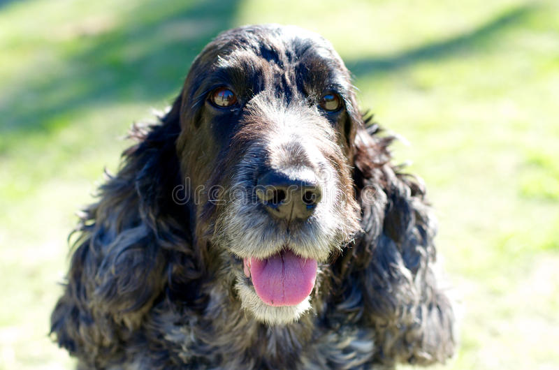An English Cocker Spaniel. Enjoying the sunshine royalty free stock images