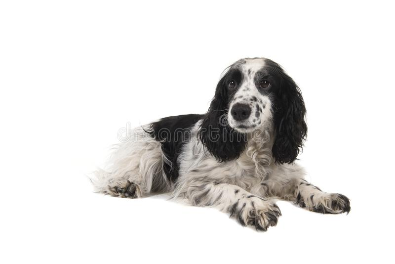 English cocker spaniel lying down isolated on a white background. An English cocker spaniel lying down isolated on a white background stock photography