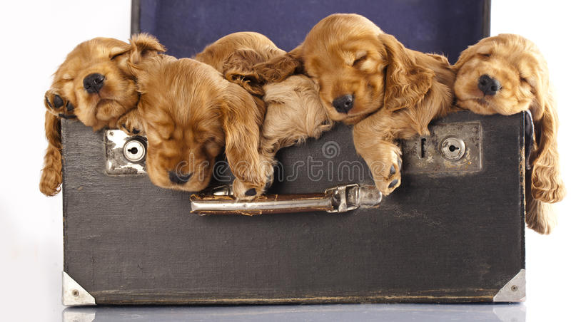 English cocker spaniel puppy. Sleeping in an old suitcase stock photos
