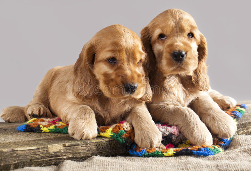 English cocker spaniel puppy. On gray background stock photo