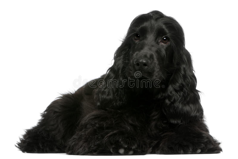 Download English Cocker Spaniel Puppy, 5 Months Old Stock Image - Image: 22629393