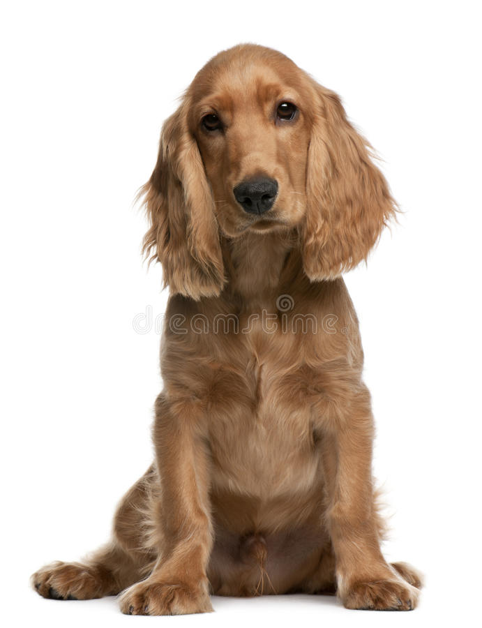 English Cocker Spaniel puppy, 5 months old. Sitting in front of white background stock photo