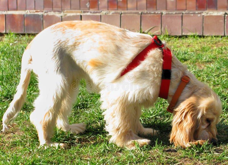 Download English Cocker Spaniel Puppy Stock Image - Image: 7180649