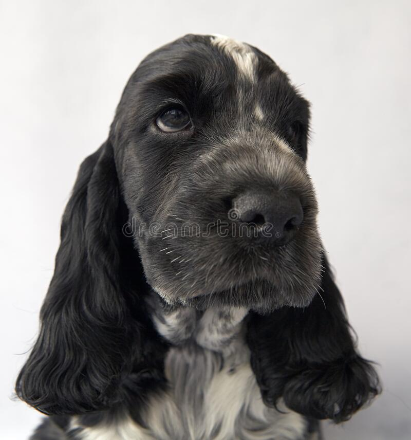 Free English Cocker Spaniel Puppy Portrait. The Color Is Blue Roan. Age 2 Months Royalty Free Stock Photo - 210034385