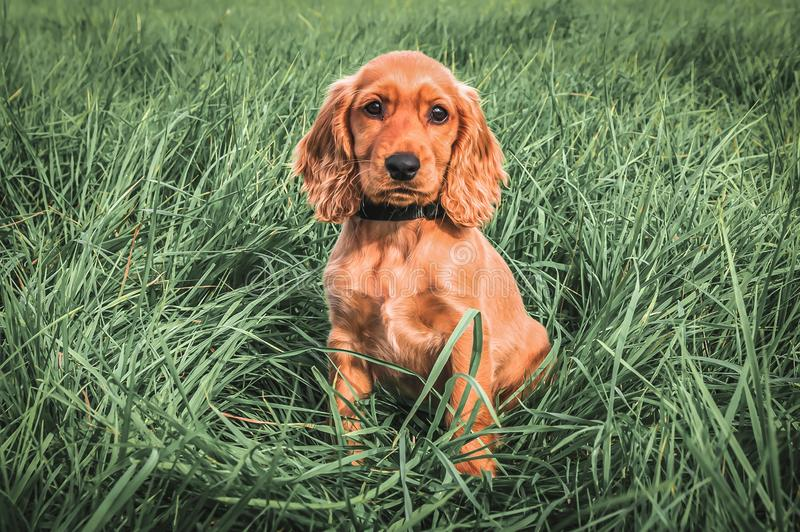 English cocker spaniel puppy sitting on the grass stock photography