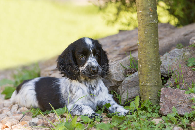 English Cocker Spaniel puppy stock photography