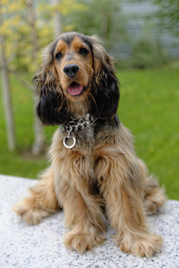 English Cocker Spaniel. Sable and black shaded English Cocker Spaniel stock images