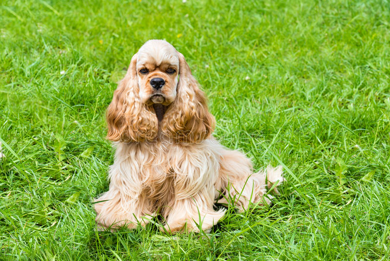 English Cocker Spaniel seats. The English Cocker Spaniel is on the grass stock photography
