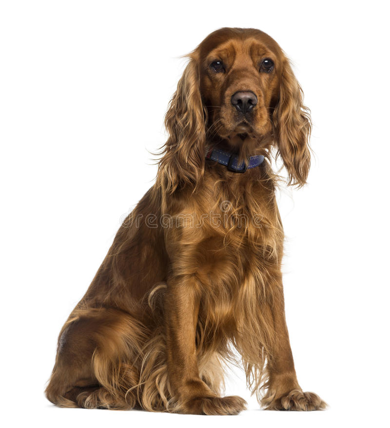 English Cocker Spaniel sitting (2 years old) royalty free stock photo