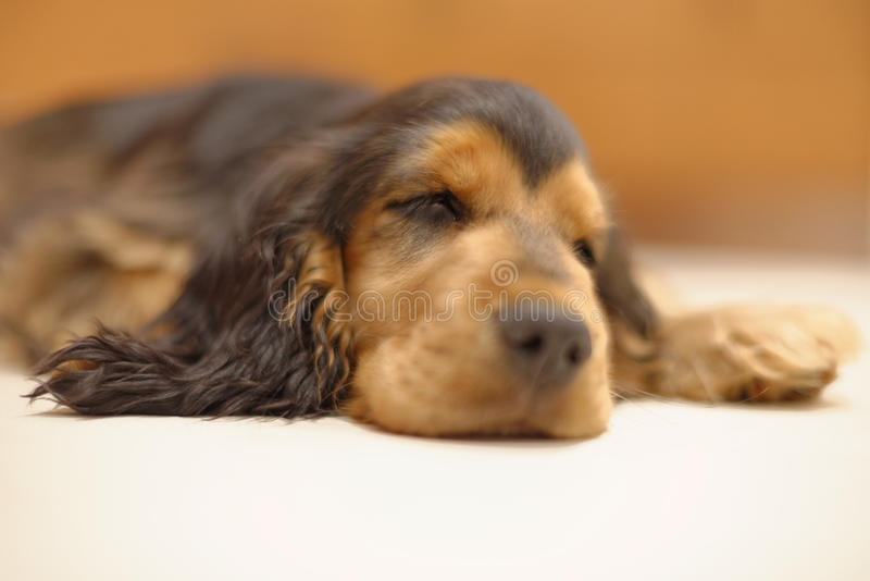 English Cocker Spaniel sleeping. A black and tan sable colored English Cocker Spaniel dog sleeping royalty free stock image
