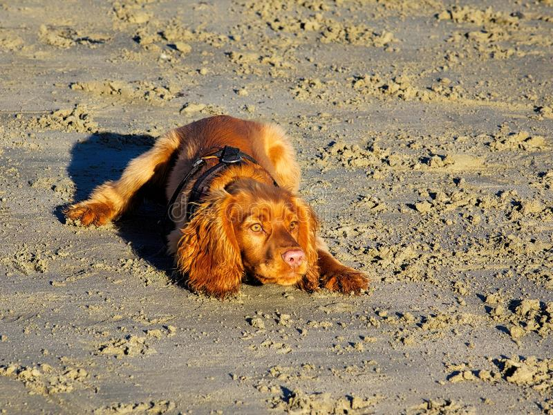 English Golden Cocker Spaniel. An English cocker spaniel with wet sandy fur having fun on the beach stock photos
