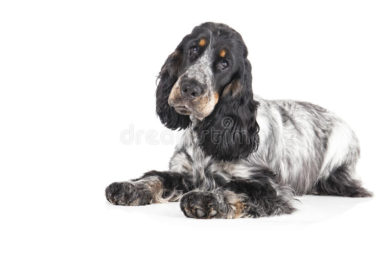 English cocker spaniel. On a white background royalty free stock image