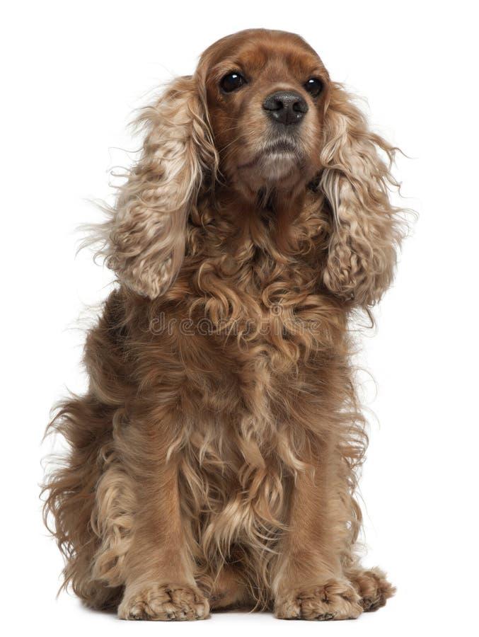 Free English Cocker Spaniel With Windblown Hair Stock Photos - 17000263