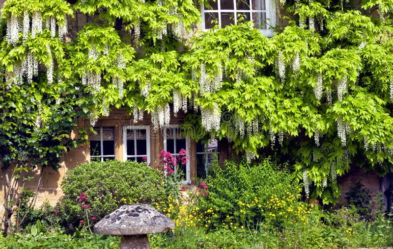 English cottage with white wisteria climbing wall. White wisteria climbing around cottage windows, with flowers, plants, stone mushroom in front on sunny summer stock images