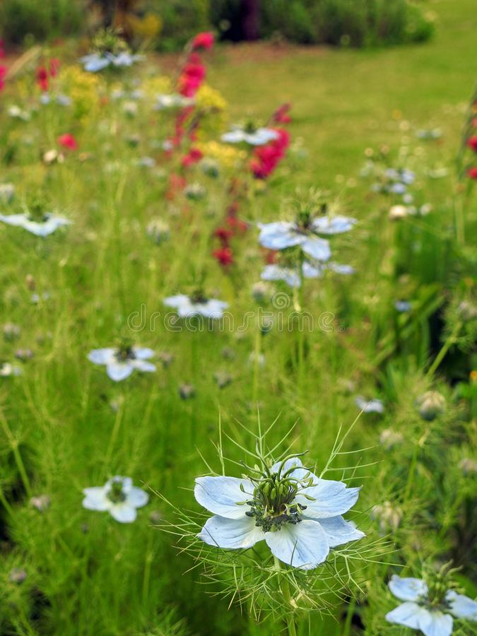 English country meadow garden flowers summer spring victorian plants. Photo of pretty english country meadow flowers and plants with nigella love in a mist in stock photos