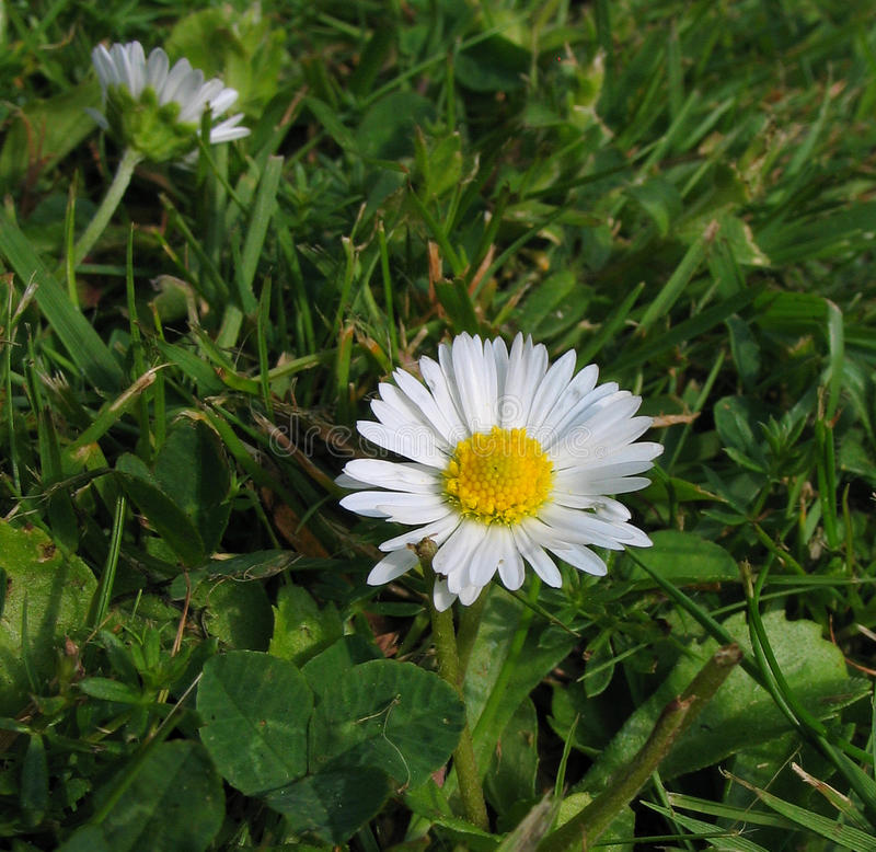 English Daisy (Bellis perennis). Bellis perennis is a common European species of daisy, of the Asteraceae family, often considered the archetypal species of that stock images