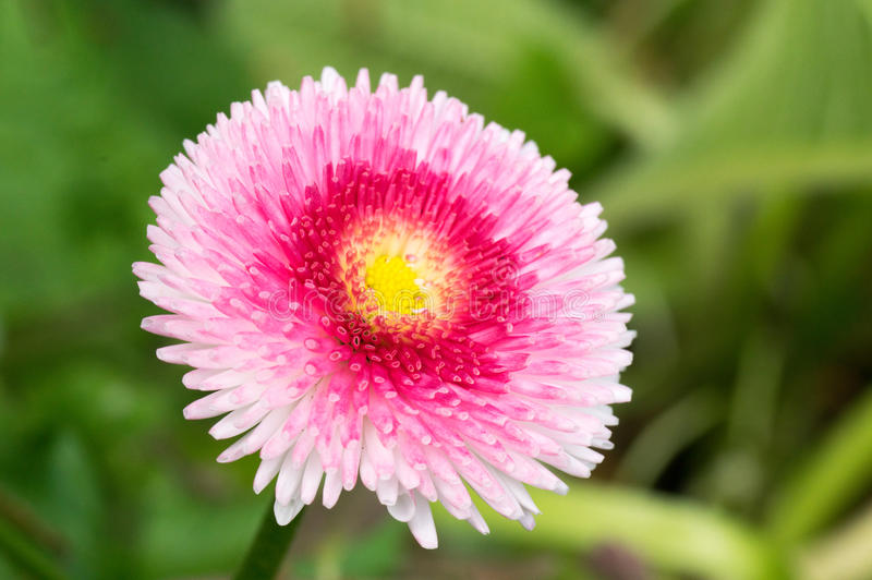 English Daisy Pink Pom Pom Flower. stock images