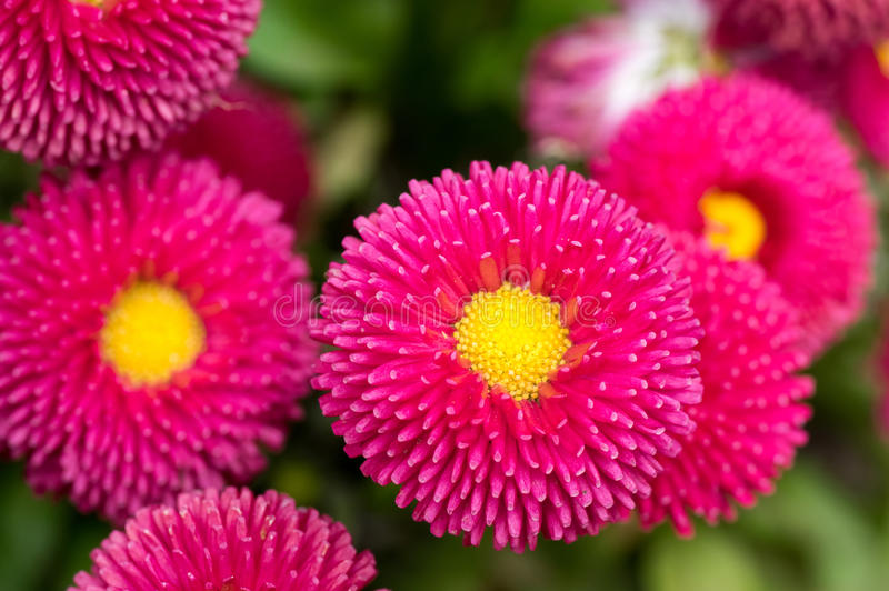 Pink English Daisy Red Pom Pom Flowers royalty free stock photos