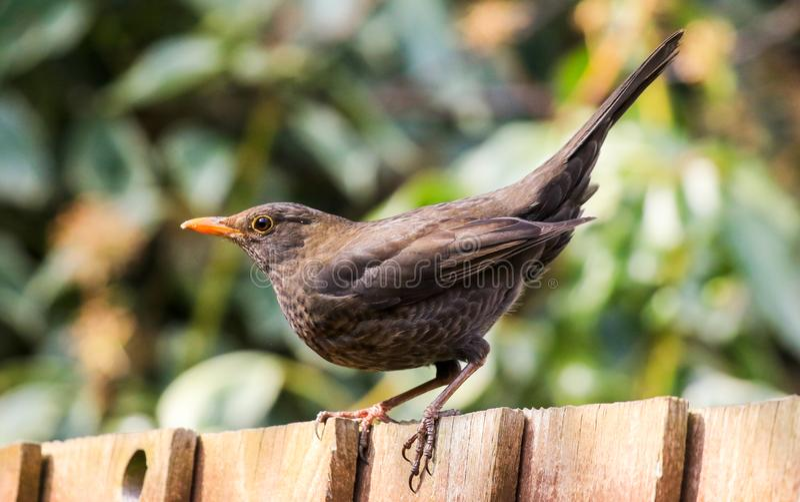 A english female blackbird stock photo