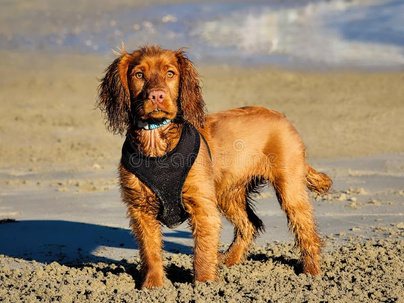 English Golden Cocker Spaniel. An English cocker spaniel with wet sandy fur having fun on the beach royalty free stock photos