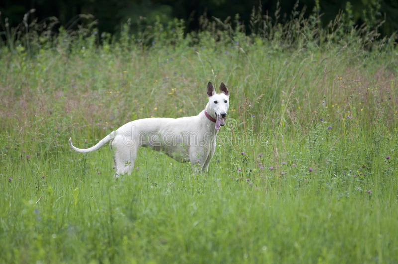 Download English greyhound portrait stock photo. Image of canine - 24999342