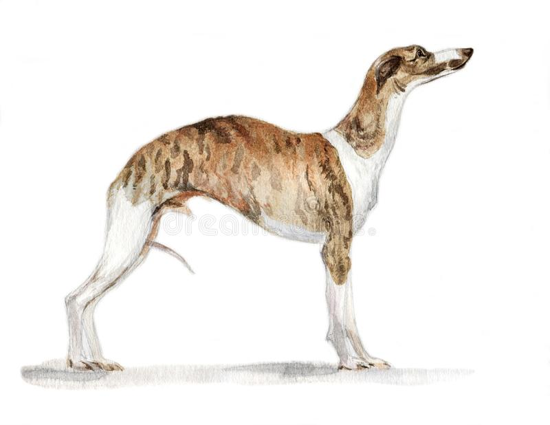 English greyhound Whippet painted in watercolor in profile stock photos