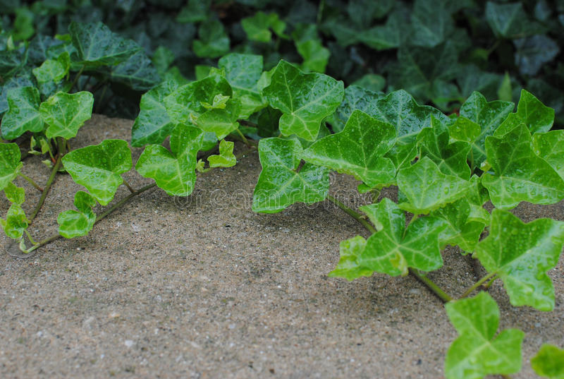 English Ivy royalty free stock images