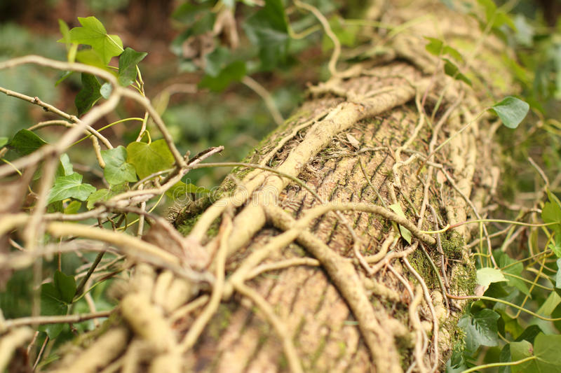 Download English ivy stock photo. Image of dead, english, trunk - 24027864