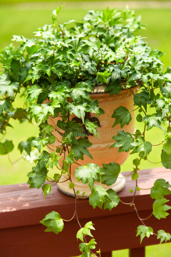 English Ivy In Planter Stock Photo