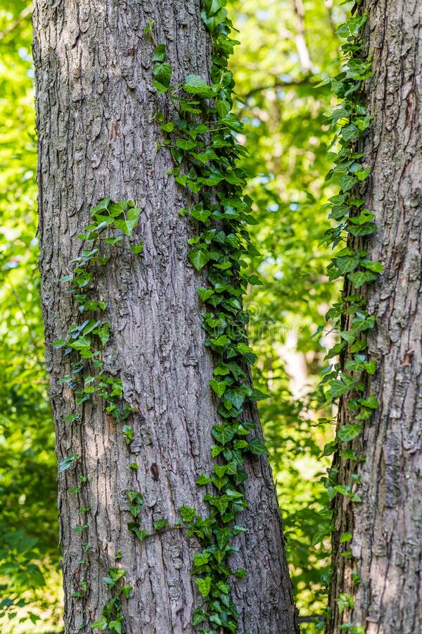 English Ivy on Tree Trunk stock photography