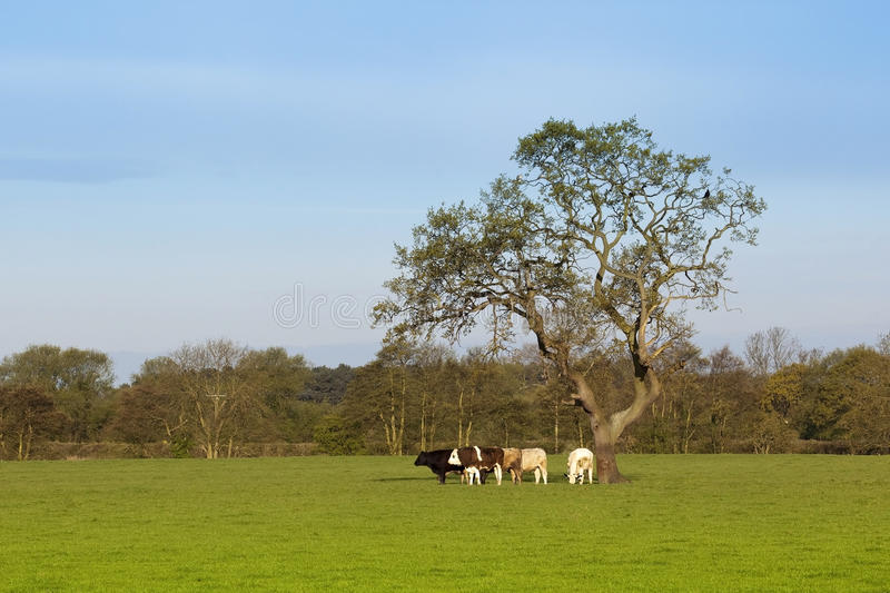 Download English Landscape With Grazing Cattle Stock Image - Image: 14159899