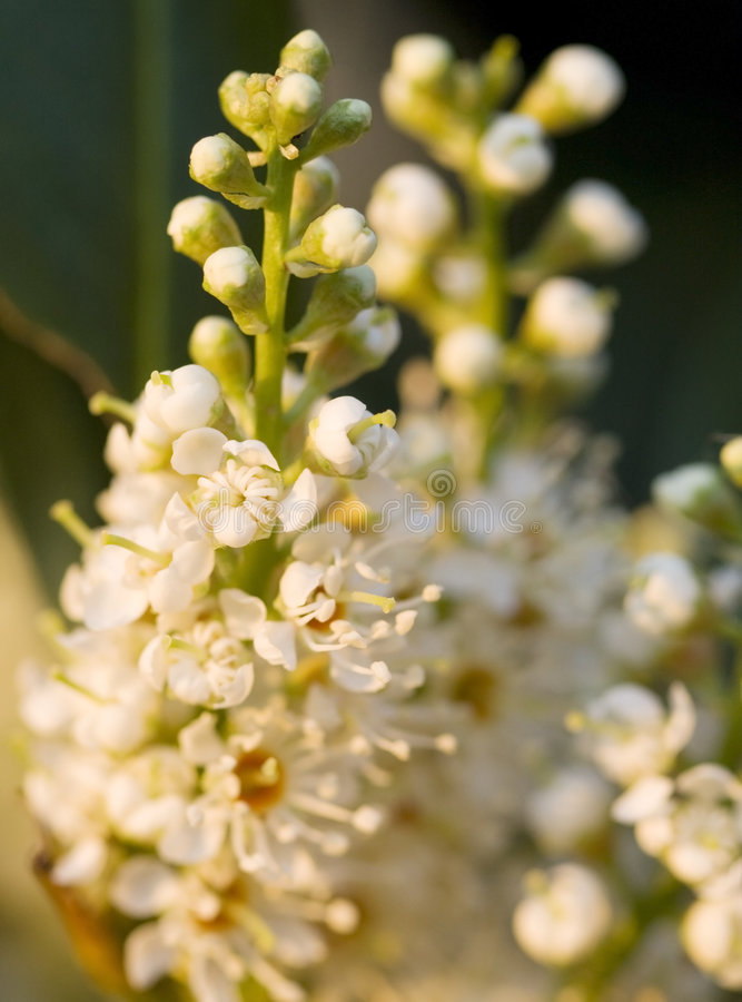 English Laurel Flowers. Close-up of early English Laurel flowers at sunrise stock images