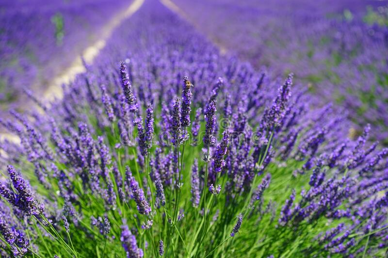 English Lavender, Lavender, Plant, Flower stock photos