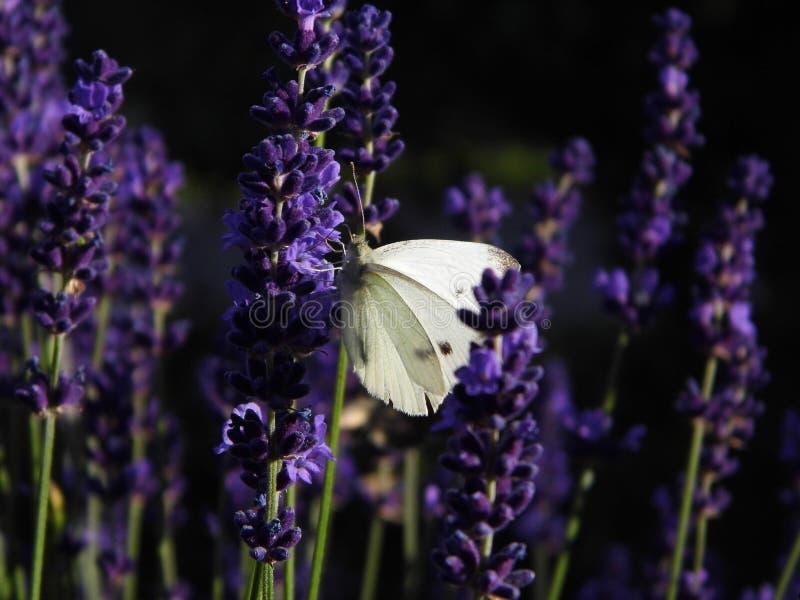 English Lavender, Lavender, Purple, French Lavender Free Public Domain Cc0 Image