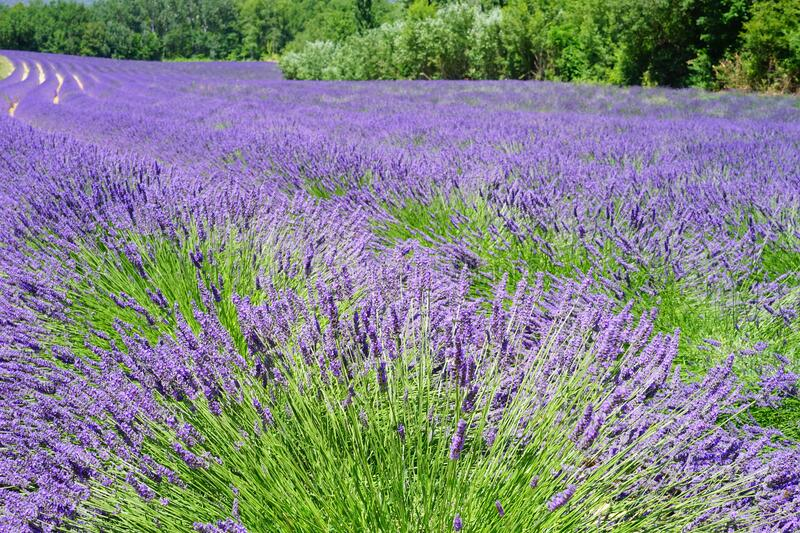 English Lavender, Plant, Lavender, Flower stock image