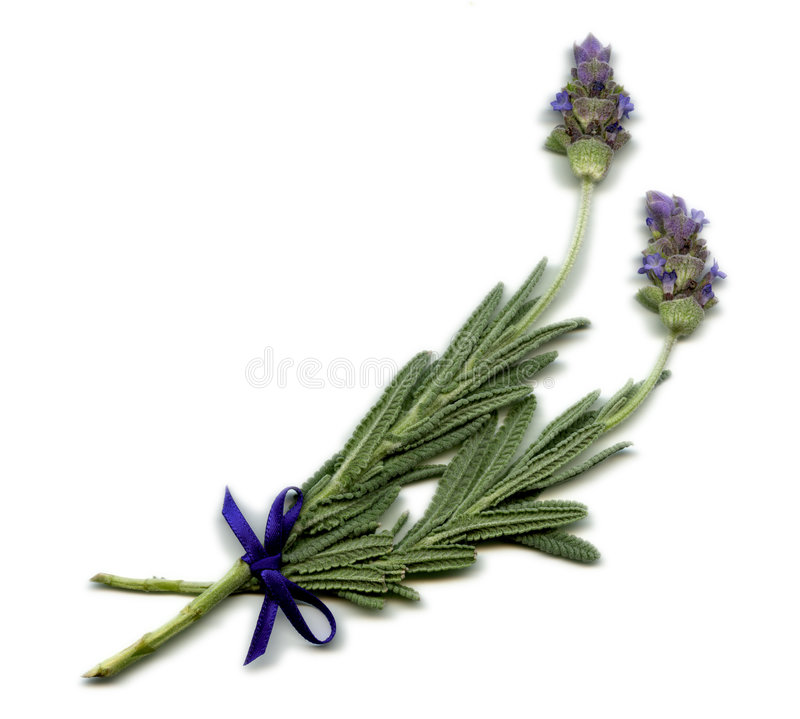 English Lavender Sprig royalty free stock images