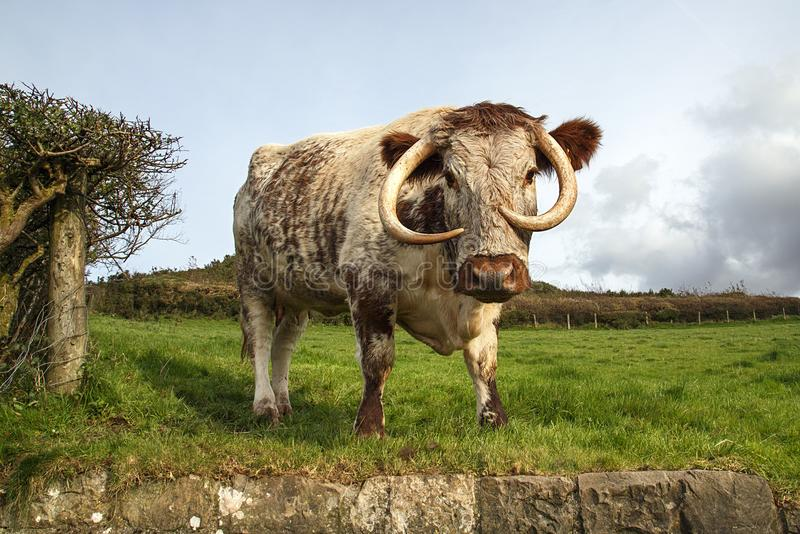 English Longhorn Cattle. Are a long-horned brown and white breed of beef cattle originating from Craven, in the north of England royalty free stock photography