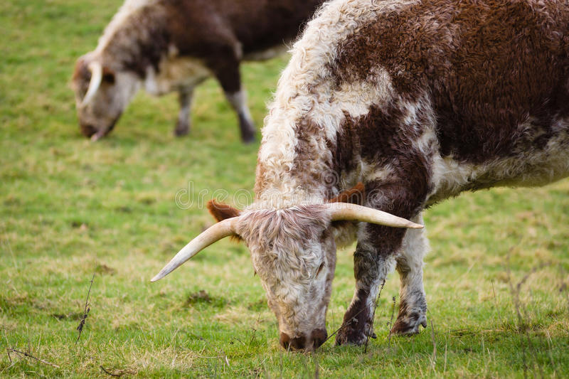 English Longhorn Cattle. An old and now rare British cattle breed that almost died out but were rescued from extinction by the Rare Breeds Survival Trust in the stock photography