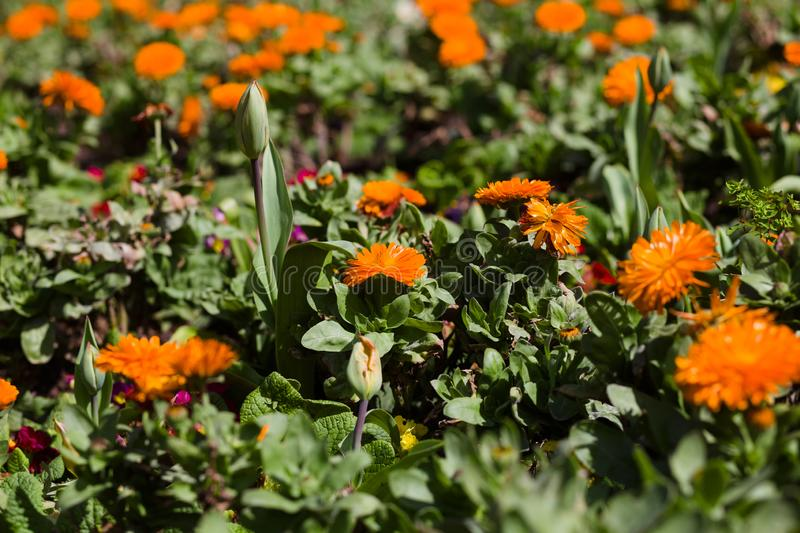 English Marigold Flowers in a Garden Blooming. Photo taken of English Marigold Flowers in a Garden Blooming in Golden Gate Park, San Francisco, California stock image