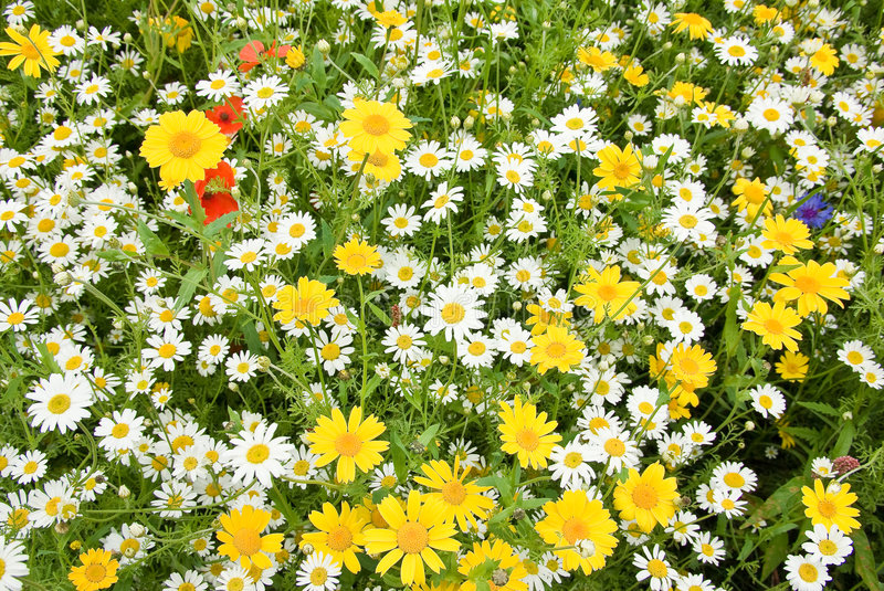 English meadow flowers. In full bloom royalty free stock image