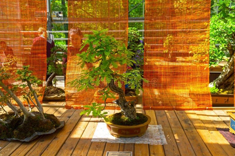 253 Bonsai Oak Photos Free Royalty Free Stock Photos From Dreamstime