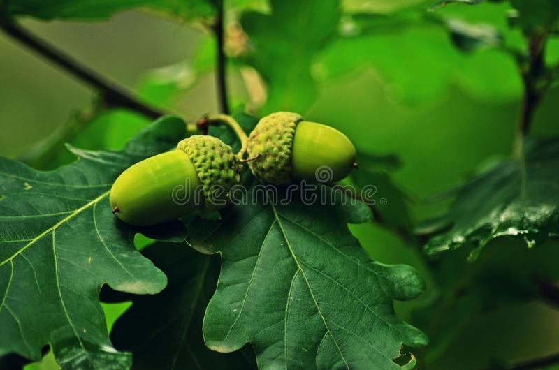 The English Oak Fruit royalty free stock photo