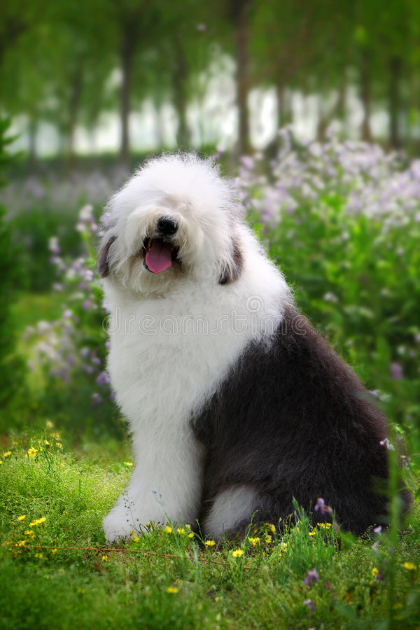 Free English Old Sheep Dog Royalty Free Stock Photography - 5089227