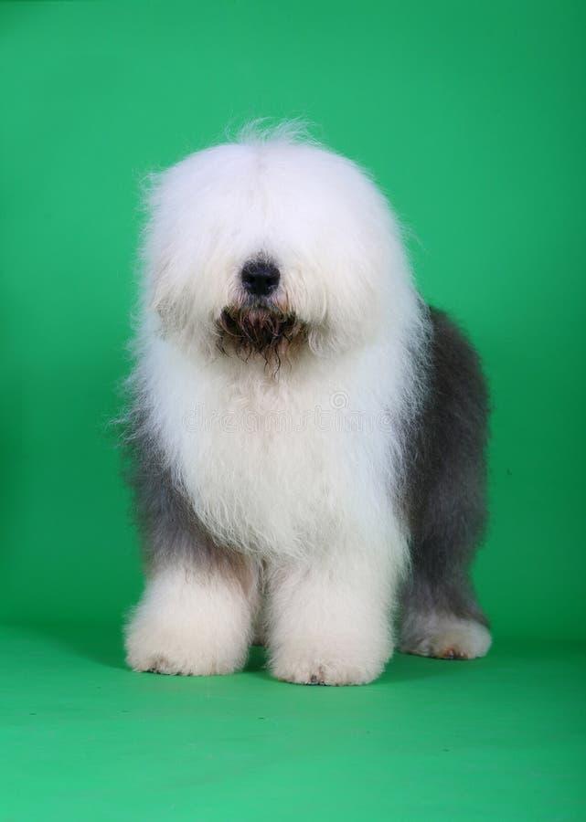 English old sheepdog royalty free stock images